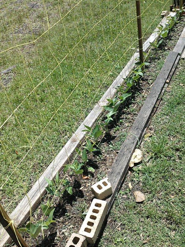 bean garden 4-21-12.jpg