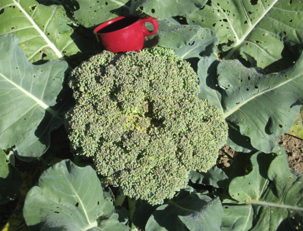 broccoli with cup.jpg