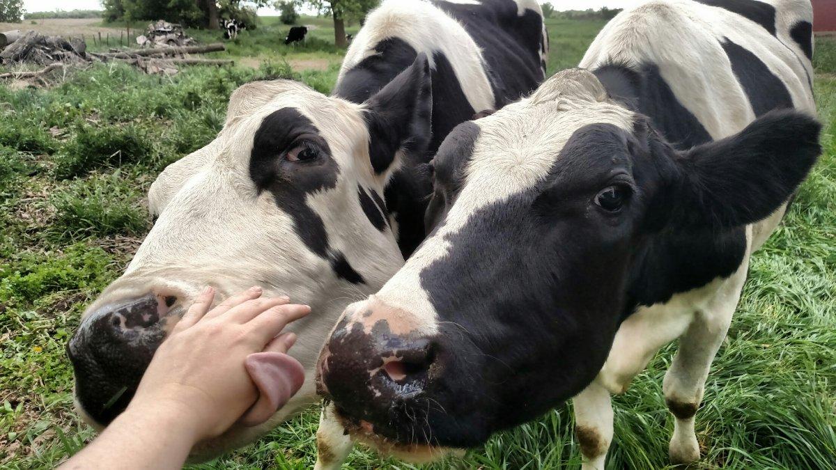 close cows.jpg
