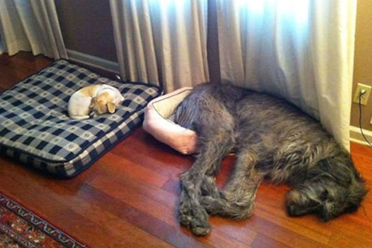 Huge-Dogs-Who-Think-They-Are-Small-3__605.jpg