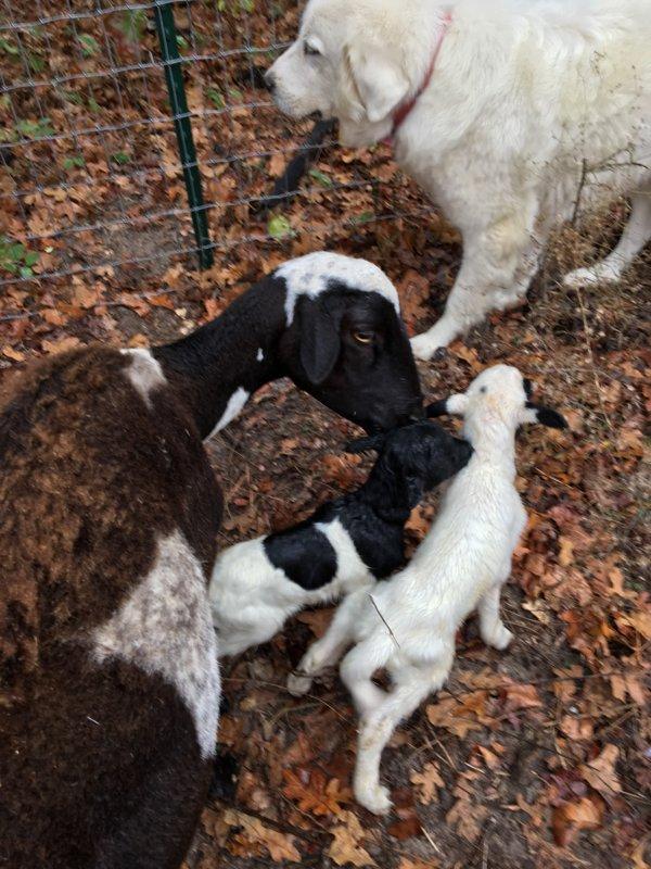 Lambs 11-28-2016.JPG