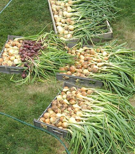 some onions 2014.jpg