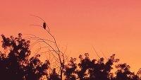 Owl at Sunset.jpg